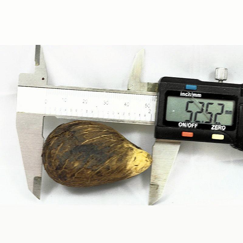 3 Graines brutes moyennes en tagua