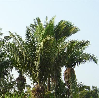 L' arbre a l'ivoire vegetal